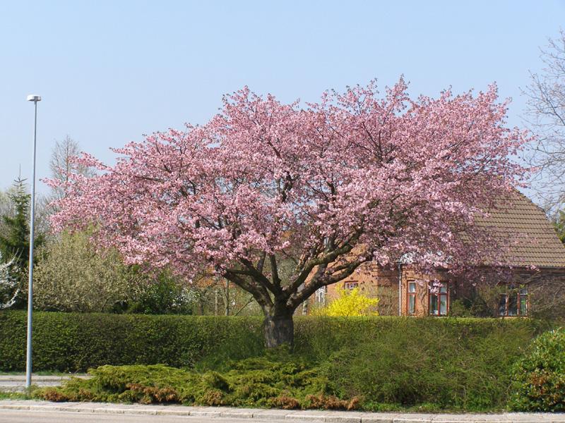 kirsebærtræ Planter   Japansk kirsebærtræ   Gudrun's Photo Gallery kirsebærtræ