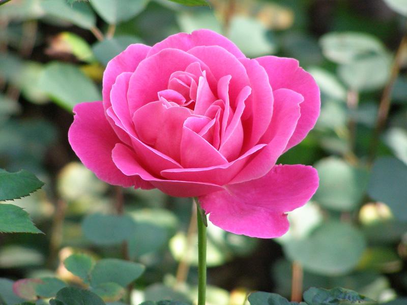 den yndigste rose dating dk login